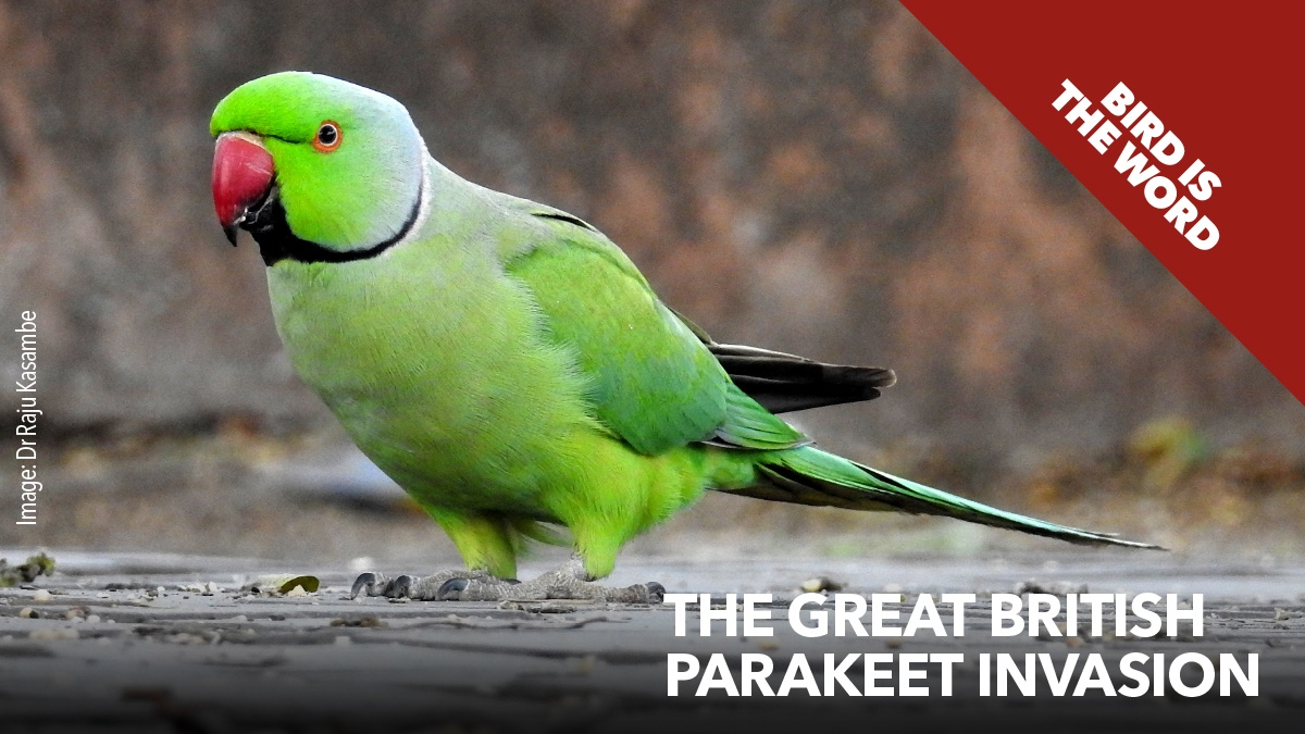 The great British parakeet invasion